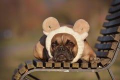 Cão de Fawn French Bulldog com o traje da faixa das orelhas e dos chifres dos carneiros que encontra-se em um banco imagens de stock