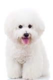 Cão de filhote de cachorro assentado do frise do bichon Foto de Stock