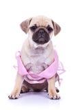 Cão de filhote de cachorro assentado do pug que desgasta um vestido cor-de-rosa imagem de stock