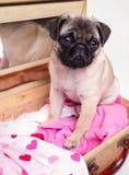 Cão de filhote de cachorro bonito do pug na mala de viagem Imagem de Stock