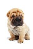 Cão de filhote de cachorro de assento do sharpei Fotos de Stock Royalty Free
