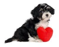 Cão de filhote de cachorro de Havanese do Valentim do amante Fotos de Stock Royalty Free