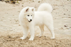 Cão de filhote de cachorro de Samojed Fotografia de Stock