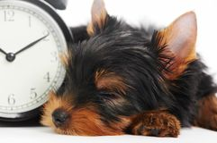 Cão de filhote de cachorro do terrier de Yorkshire Imagens de Stock
