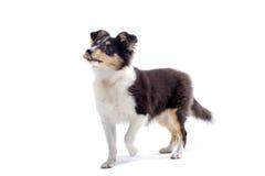 Cão de filhote de cachorro escocês do collie imagem de stock