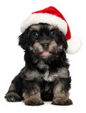 Cão de filhote de cachorro havanese do Natal bonito Fotografia de Stock