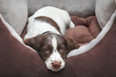 Cão de filhote de cachorro na cama confortável Foto de Stock