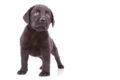 Labrador retriever preto ereto que olha acima Foto de Stock Royalty Free