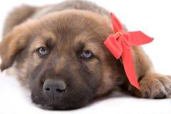 Cão de filhote de cachorro que encontra-se para baixo Imagens de Stock Royalty Free