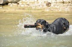 Cão de flutuação com uma vara Imagem de Stock Royalty Free