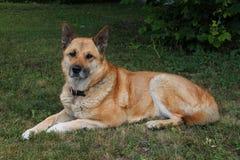 Cão de Gerkita que levanta consideravelmente Fotografia de Stock Royalty Free