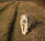 Cão de grandes Pyrenees fotografia de stock royalty free