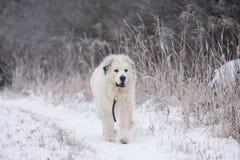 Cão de grandes Pyrenees imagem de stock