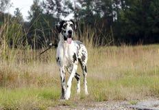 Cão de great dane do arlequim fotografia de stock