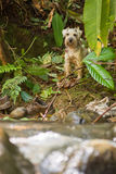 Cão de Grey Schnauzer fotografia de stock royalty free