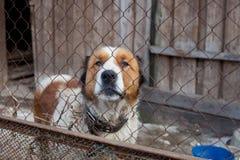 Cão de guarda de Moscou no abrigo Imagem de Stock