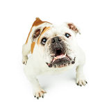 Cão de guarda do buldogue no alerta foto de stock royalty free