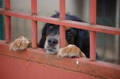 Cão de guarda doce Fotos de Stock Royalty Free