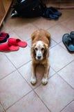 Cão de guarda doméstico foto de stock