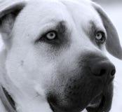 Cão de guarda infravermelho Fotografia de Stock