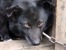Cão de guarda triste Fotografia de Stock