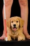 Cão de guia para as cortinas no treinamento Imagens de Stock