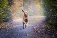 Cão de cão húngaro no tempo do outono foto de stock