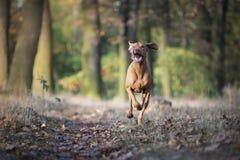 Cão de cão húngaro no tempo do outono fotos de stock
