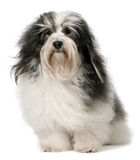 Cão de Havanese Fotografia de Stock Royalty Free