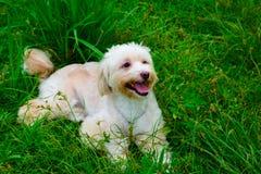Cão de Havanese Imagem de Stock Royalty Free