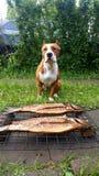 Cão de Hermis Imagens de Stock Royalty Free