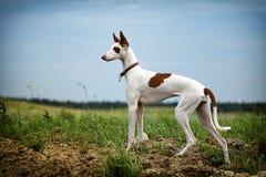 Cão de Hound de Ibizan Imagem de Stock