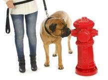 Cão de Housetraining imagem de stock royalty free