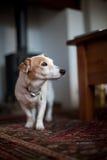 Cão de Jack Russel Imagens de Stock