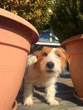 Cão de Jack Russell imagens de stock royalty free