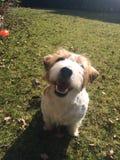 Cão de Jack Russell fotografia de stock