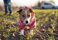 Cão de Jack Russell em uma caminhada Imagens de Stock