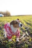 Cão de Jack Russell em uma caminhada Fotos de Stock Royalty Free