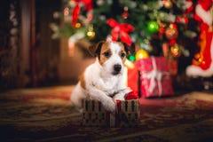 Cão de Jack Russell no Natal imagens de stock royalty free