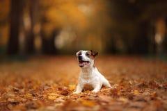 Cão de Jack Russell Terrier com folhas imagens de stock royalty free