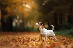 Cão de Jack Russell Terrier com folhas ouro e cor vermelha, caminhada no parque imagem de stock
