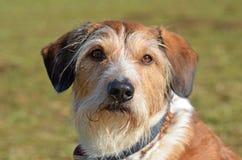 Cão de Krom Imagens de Stock Royalty Free