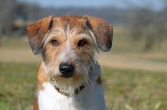 Cão de Krom Imagens de Stock