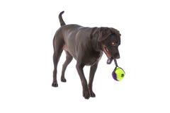 Cão de Labrador com brinquedo fotografia de stock