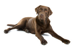 Cão de Labrador do chocolate   Fotografia de Stock