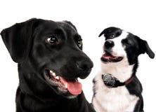 Cão de Labrador e collie de beira Foto de Stock