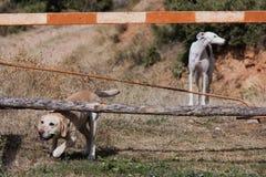 Cão de Labrador e de galgo Fotos de Stock
