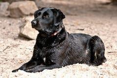 Cão de Labrador na praia Foto de Stock Royalty Free