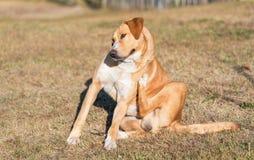 Cão de Labrador que risca no jardim fotografia de stock