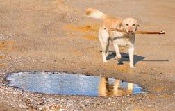 Cão de labrador retriever Foto de Stock